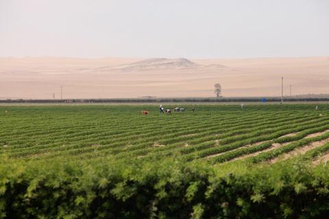Campo agrícola. Desierto de Ica. Photo: Javier Florez ©
